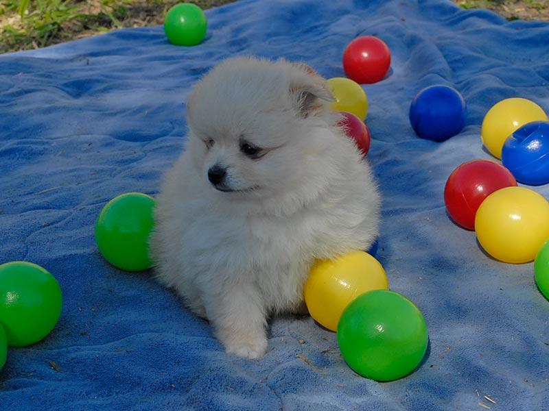 Canil Dabadog SP - Filhotes de Bernese Mountain Dog a venda